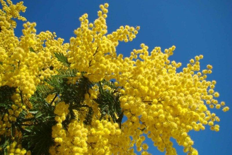 mimose kaufen jetzt
