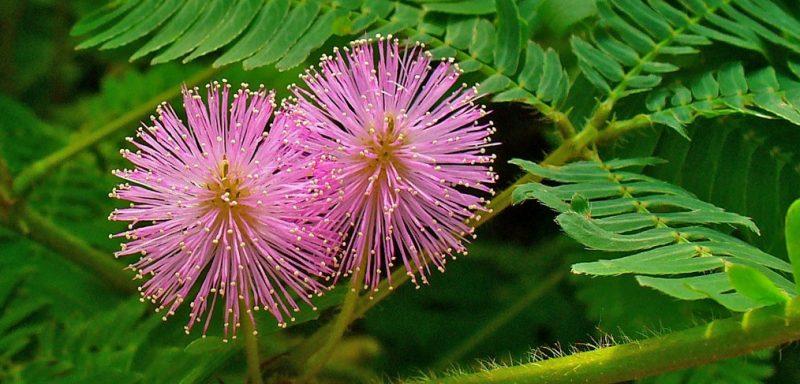 mimose kaufen rot