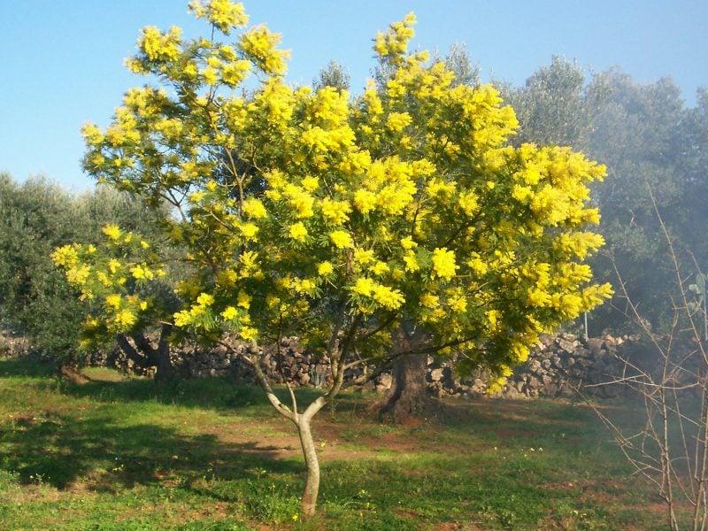 mimose kaufen gelb