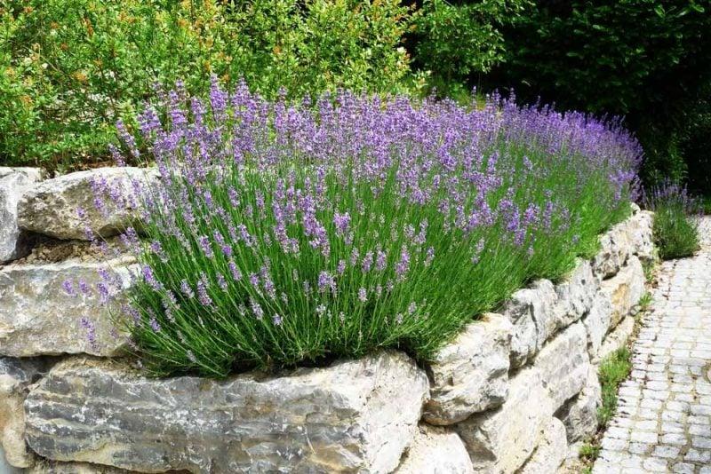 pflanzen fur steingarten lavendel mit purpuren farben