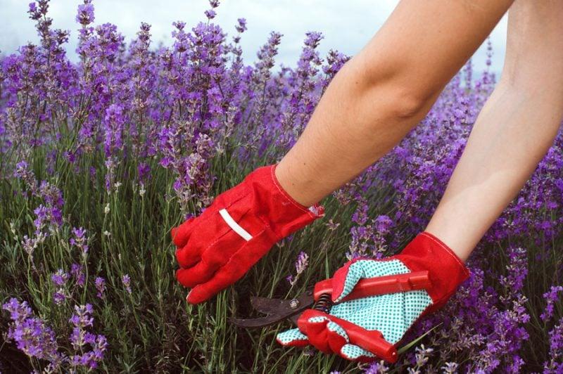pflanzen fur steingarten die ausgestorbenen lavendelteile schneiden