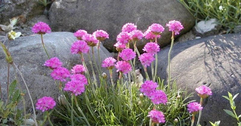 pflanzen fur steingarten rosa grasnelken wirken erfrischend