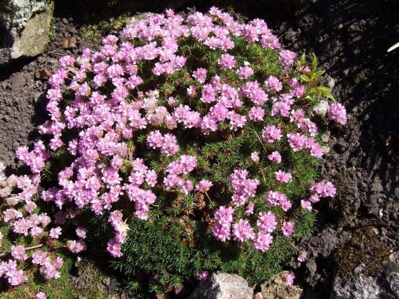 pflanzen fur steingarten grasnelken für große gärten geeignet