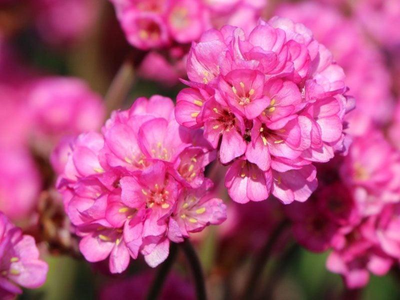 pflanzen fur steingarten grasnelken in rosa sehen in allen jahreszeiten schön