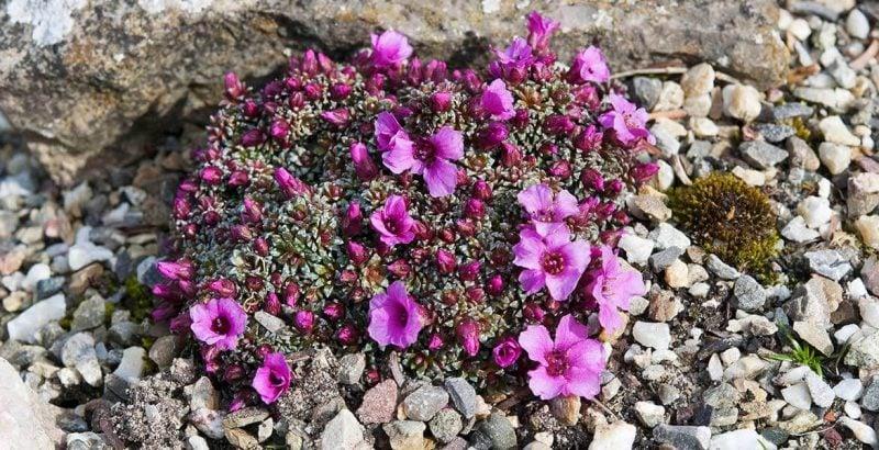 pflanzen fur steingarten grasnelken wachsen im steinboden problemlos auf