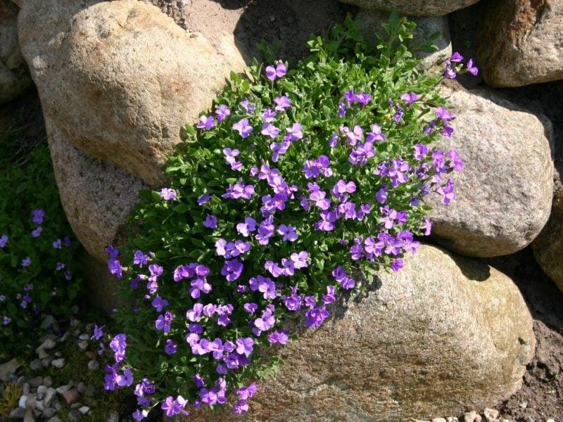 pflanzen fur steingarten purpurfarbige blaukissen an einem sonnigen ort