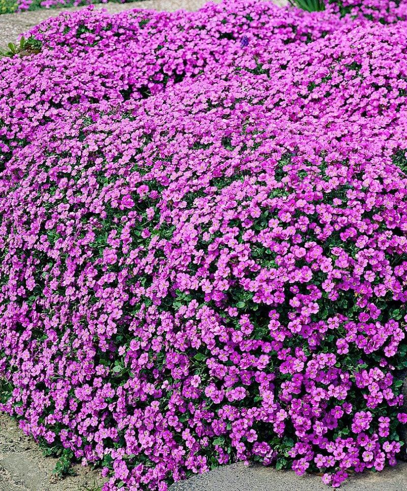 pflanzen fur steingarten buschige blaukissen sehen ausgefallen aus