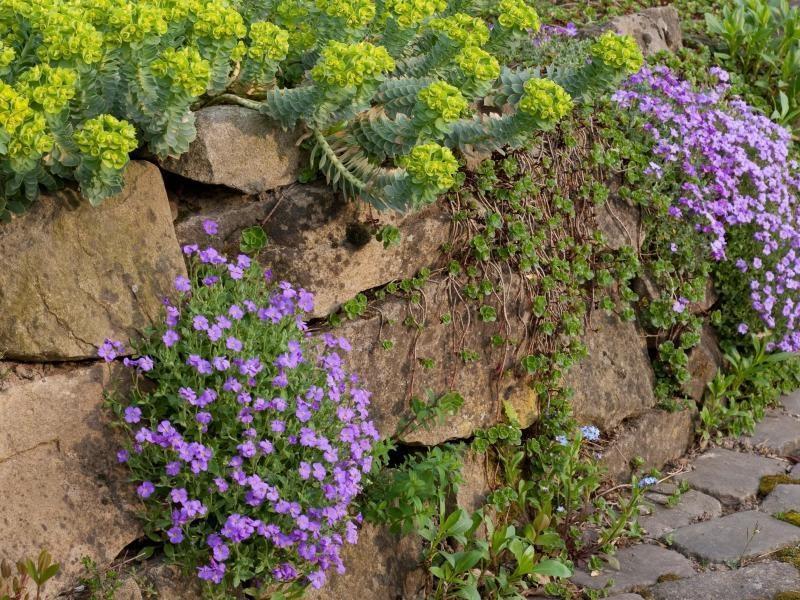 Pflanzen für Steingarten Blaukissen kommen gut mit den mageren Böden zurecht