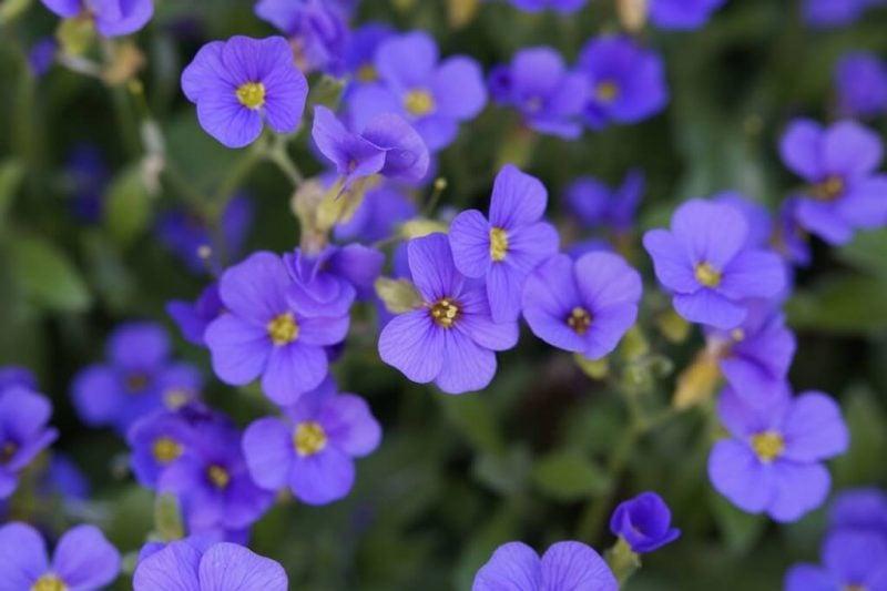 pflanzen fur steingarten blaukissen bringen fröhliche stimmung