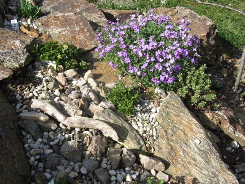 pflanzen fur steingarten blaukissen mit anderen buschen kombiniert
