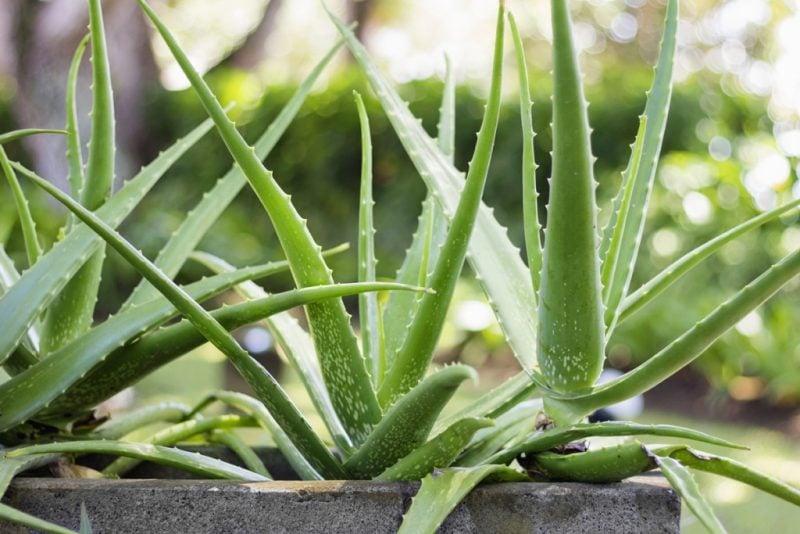 pflanzen fur steingarten aloe vera im betonkübel