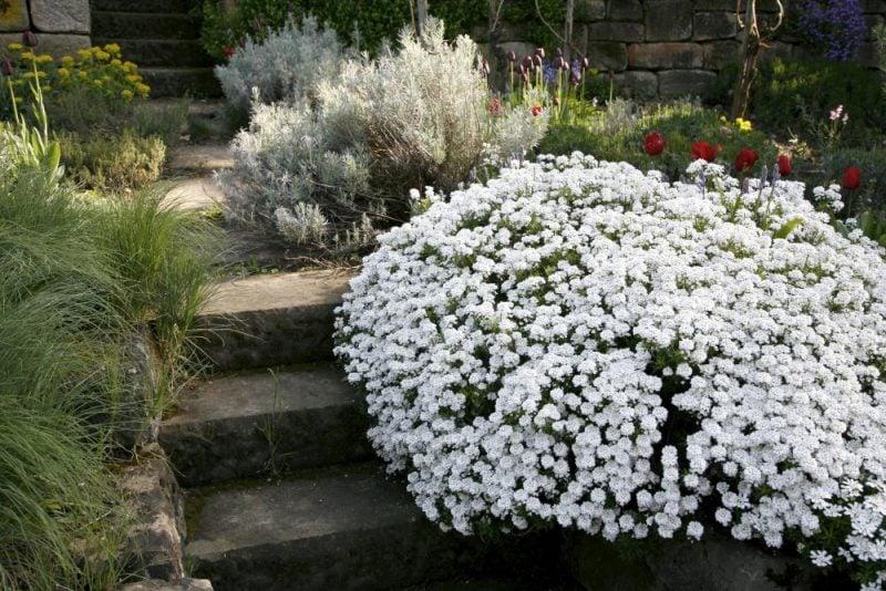 pflanzen fur steingarten weiße schleifenblumen wie im wintermärchen