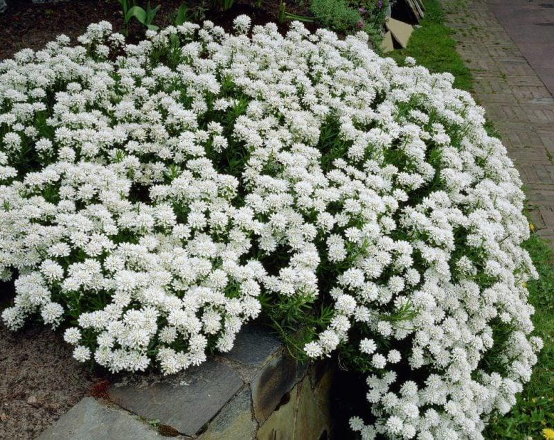 pflanzen für steingarten weiße buschige schleifenblumen