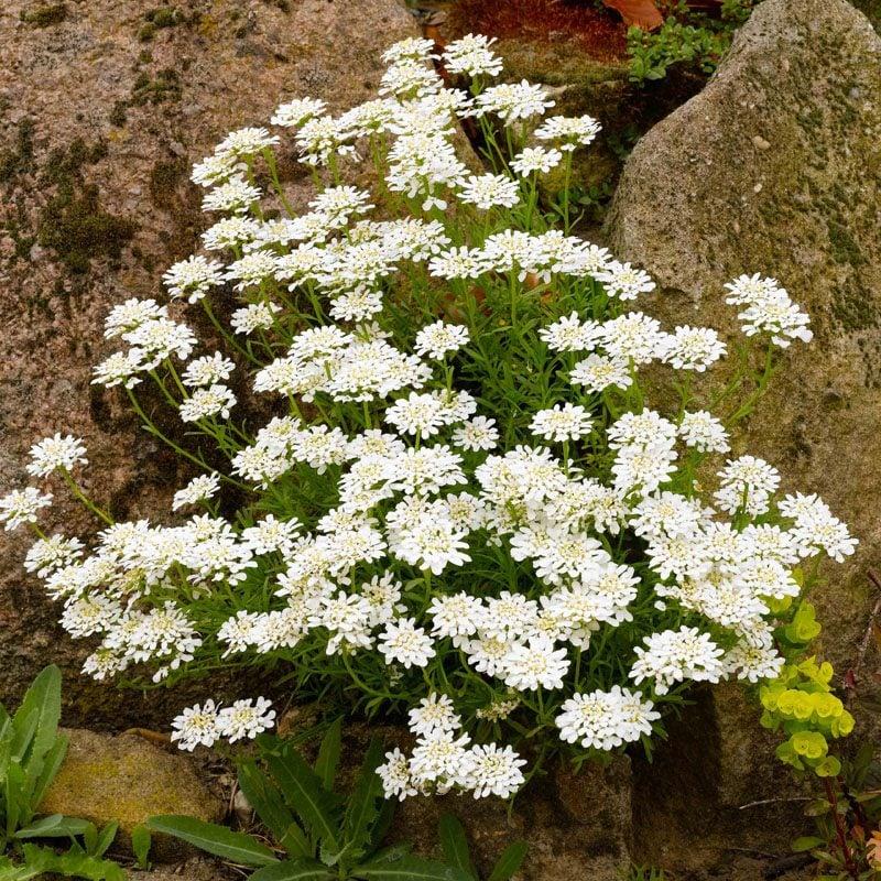 pflanzen für steingarten schleifenblumen sind ausgefallene alpine pflanzen