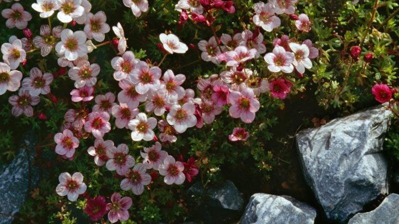 pflanzen für steingarten steinbrech mit hübschen Blüten