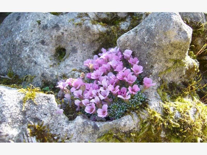 pflanzen fur steingarten steinbrech alpiner herrkunft