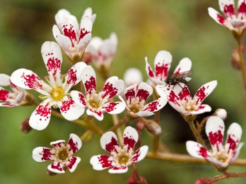 pflanzen für steingarten steinbrech mit immergrünen bezaubernden blüten