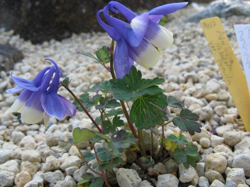 pflanzen fur steingarten brauchen eine trockene lage