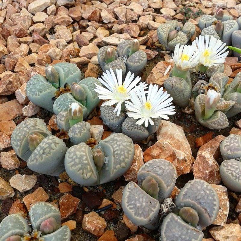 Wenn Sie Steinbeet anlegen, werden Sie einen exotischen Flair in Ihrem Garten bringen