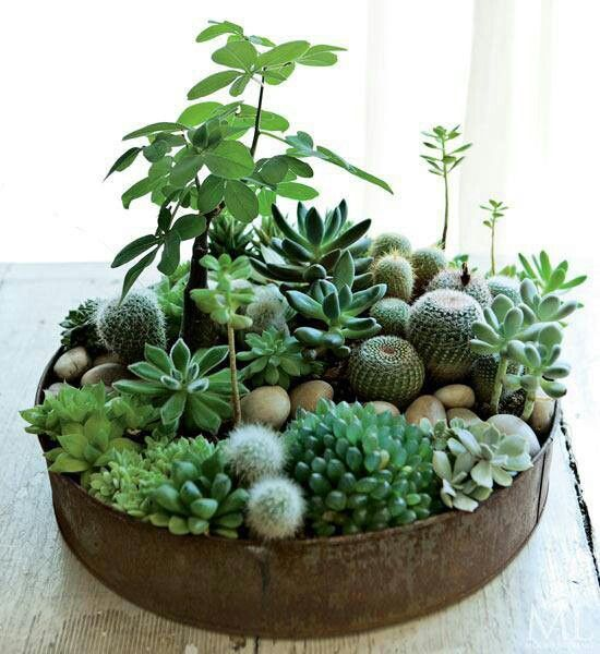 zimmerpflanzen bestimmen sukkolenten