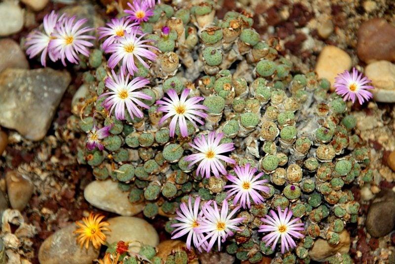 zimmerpflanzen bestimmen lebendige steine
