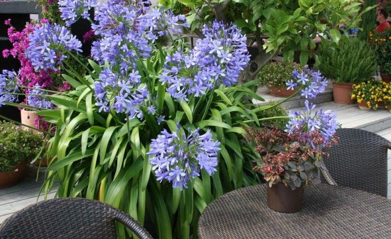 zimmerpflanzen bestimmen blau