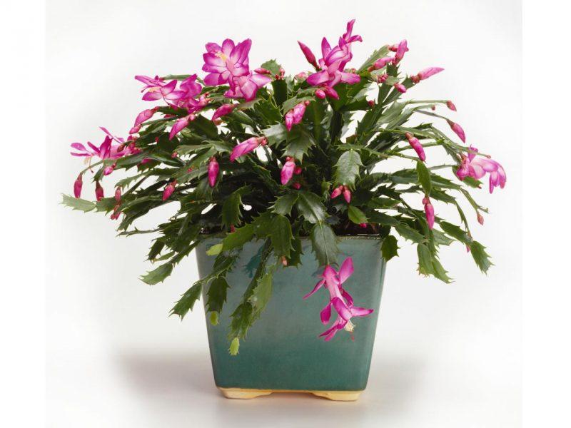 Weihnachtskaktus mit rosa Blüten