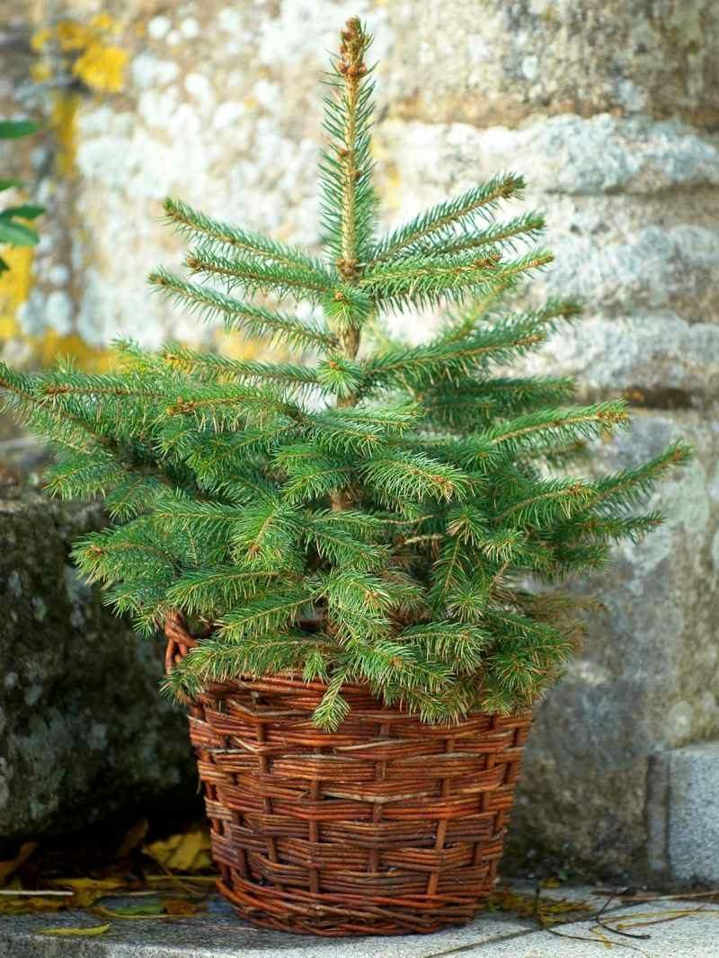 Weihnachtsbäume kaufen tannenbaum im Korb