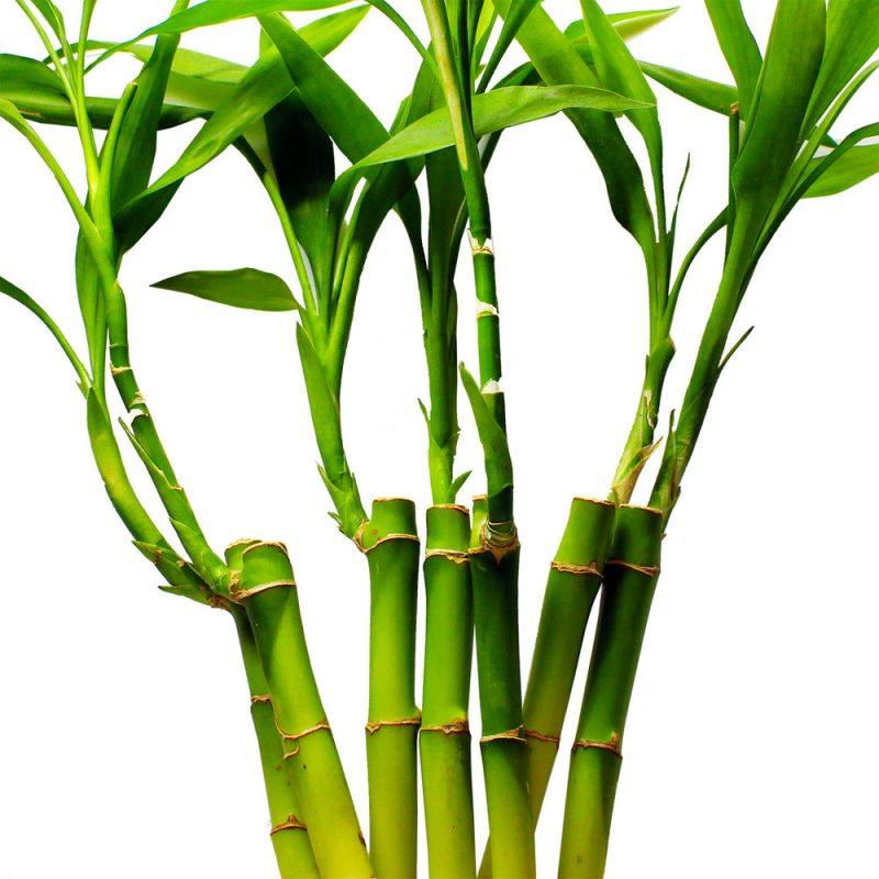 Glücksbambus einpflanzen