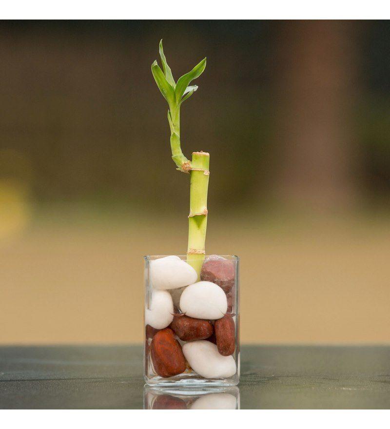 Glücksbambus Einpflanzen Tipps