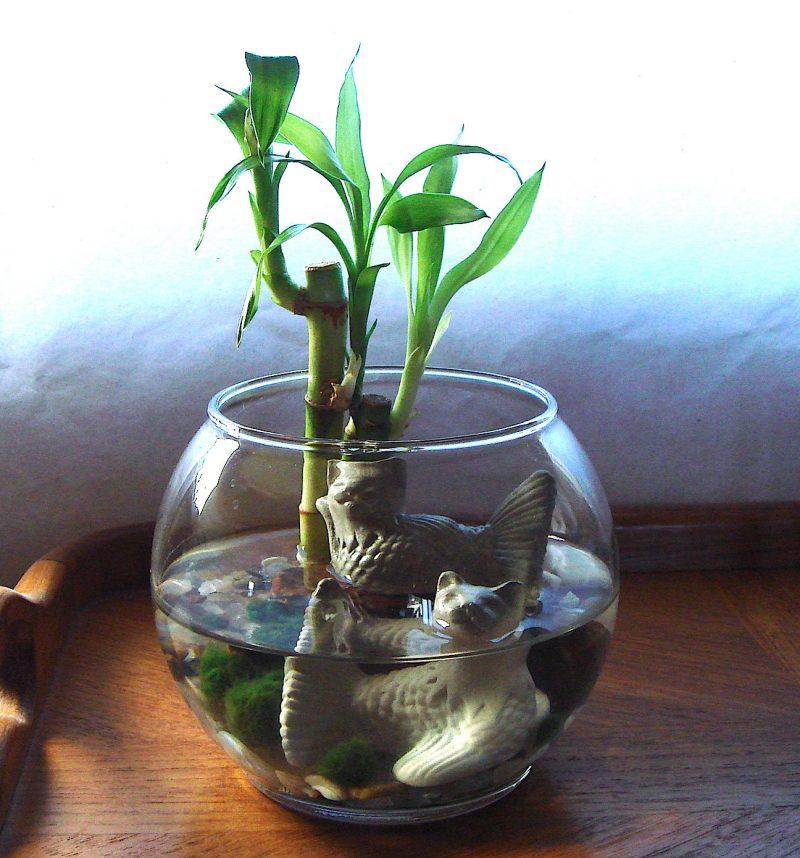 glücksbambus pflege – erfahren sie mehr über diesen glücksbringer, Gartengerate ideen