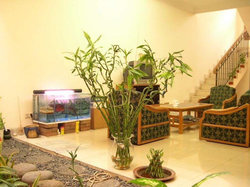Glücksbambus im Wohnzimmer