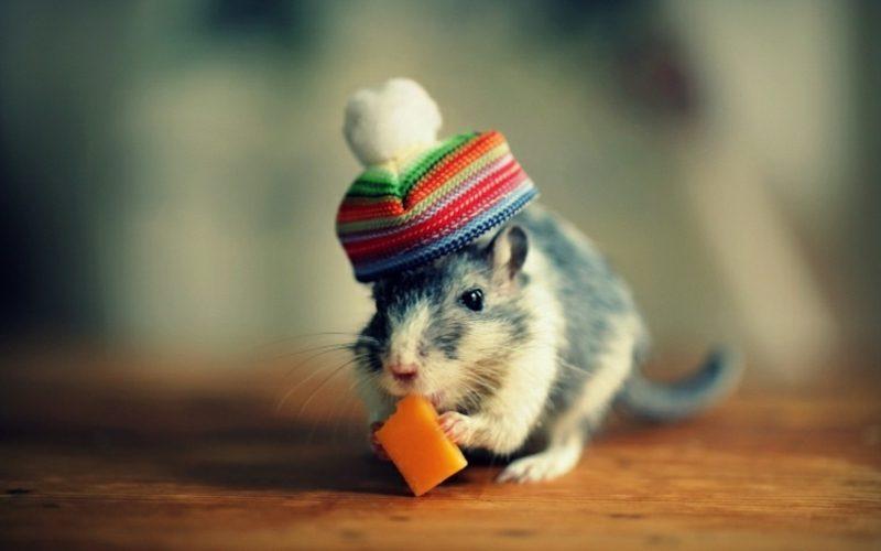 Tierbilder als lustige Gruβkarten Hamster