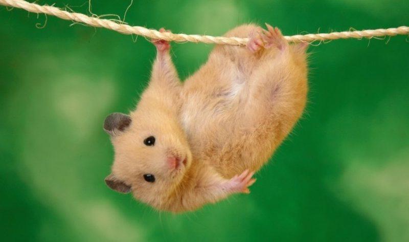 Tierbilder als lustige Gruβkarten Hamster und Seil