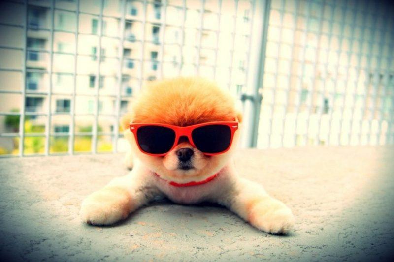 Hund mit Sonnenbrillen Tierbilder als lustige Gruβkarten