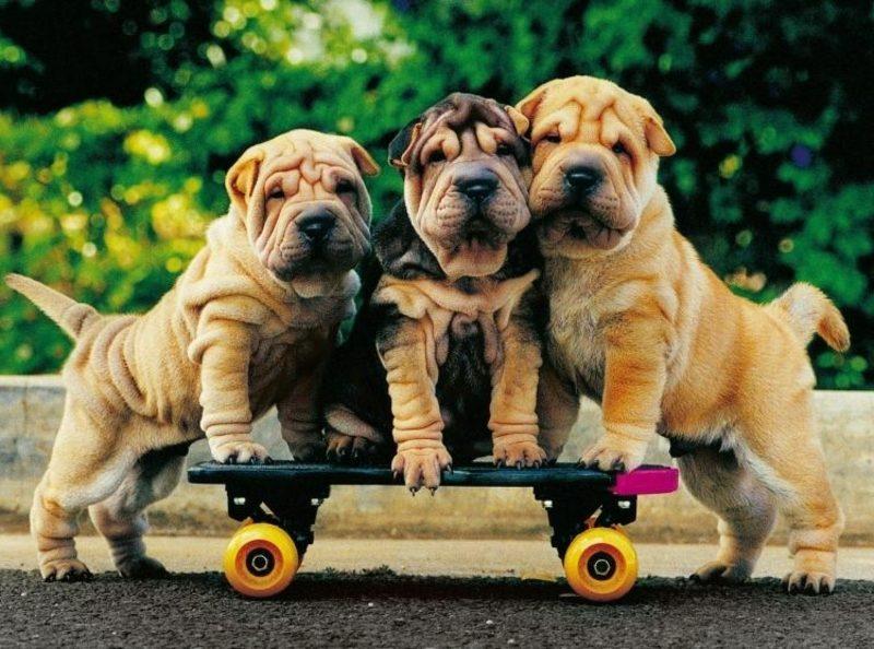 lustige Gruβkarten drei Hunde und Skateboard
