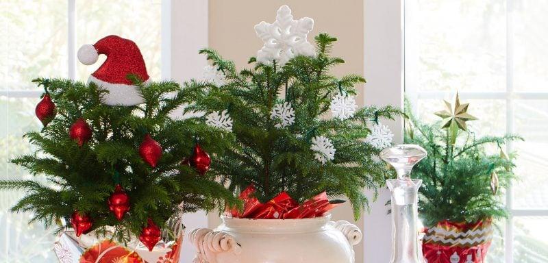 Weihnachtsbaum im Topf bringt die Natur zu Hause