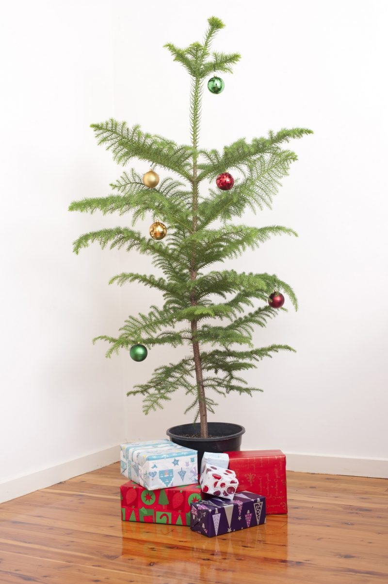 Weihnachtsbaum im Topf wirkt grüner und frisch