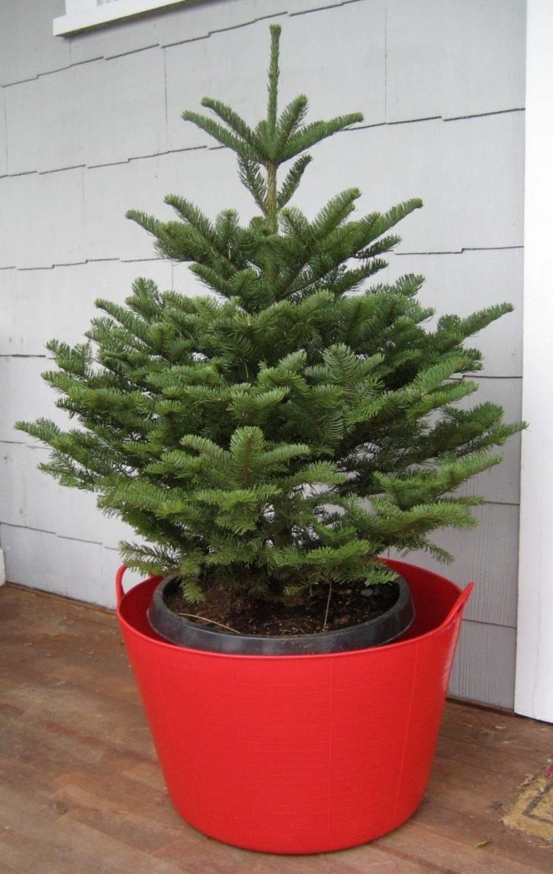 Weihnachtsbaum im Topf im Garten eingepflanzt