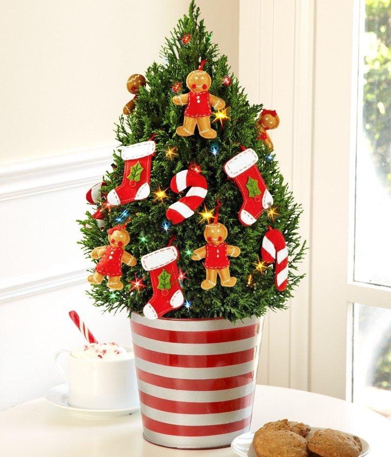 Weihnachtsbaum im Topf braucht regelmäßiges Giessen