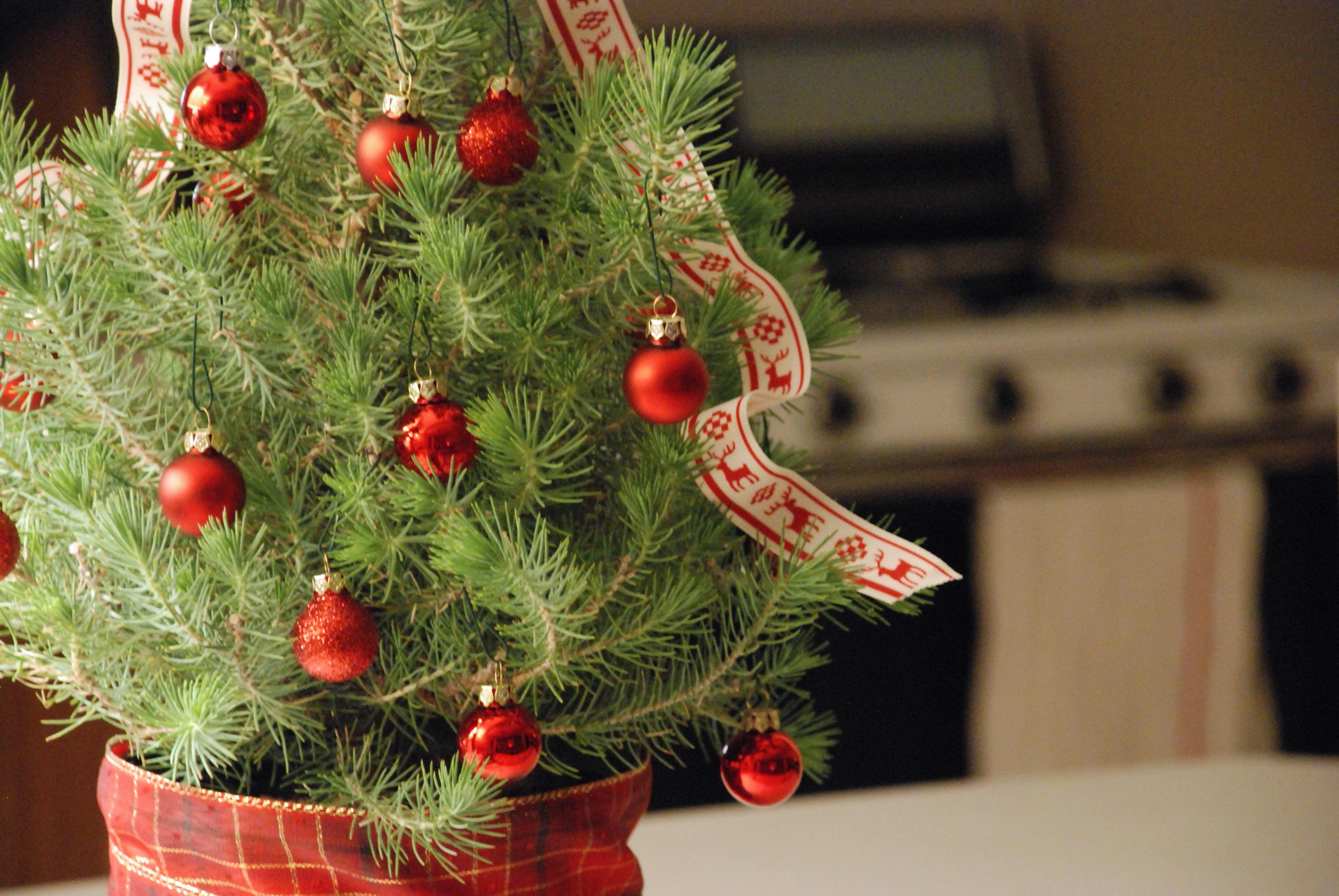 Weihnachtsbaum im Topf - Vorteile und Pflege Tipps