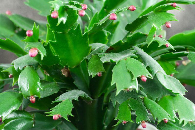 Weihnachtskaktus beginnt zu blühen