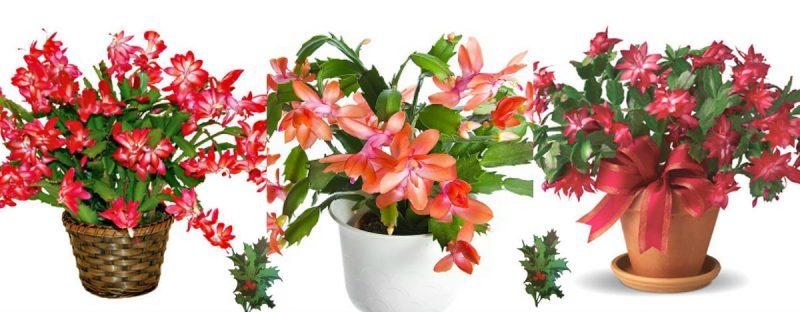 Weihnachtskaktus hat wunderschöne Blüten