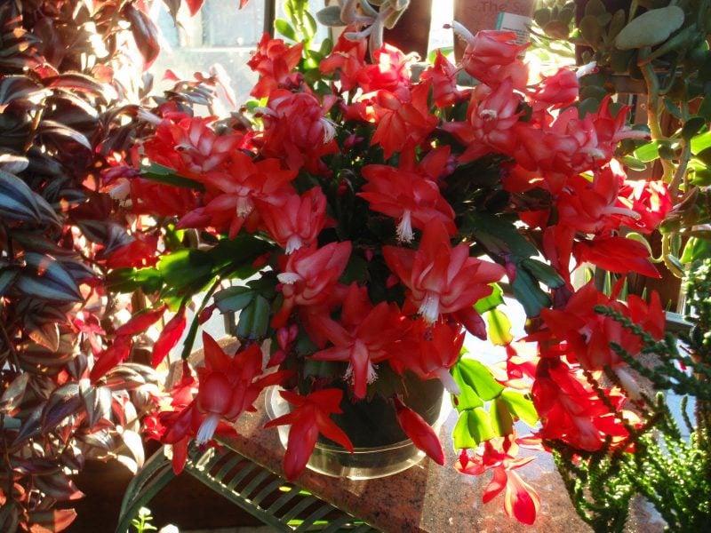 Weihnachtskaktus - im Sommer draußen, im Winter drinnen