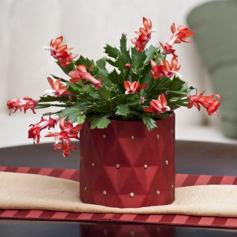 Weihnachtskaktus - Erfahren Sie das Geheimnis für Blühen