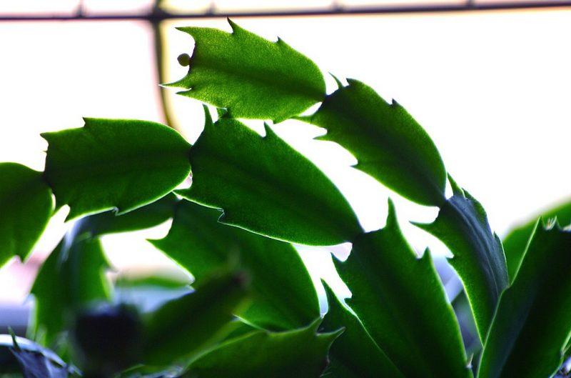 Weihnachtskaktus ohne Blüten