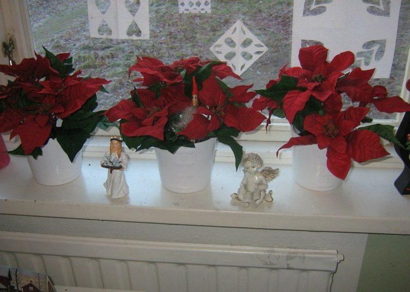Dekoideen zu Weihnachten rote Weihnachtssterne am Fensterbank