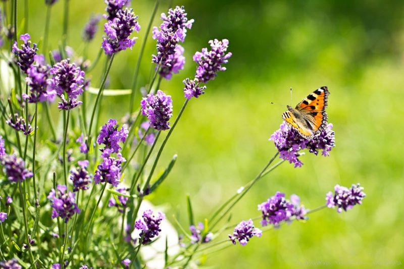 Lavendel Duftpflanze Schmetterling