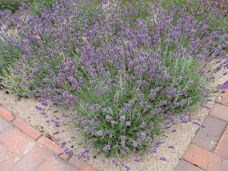 Lavendelstrauch Blumenbeet