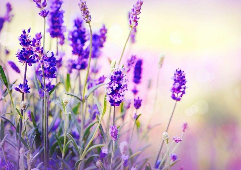 die zarten Blühten des Lavendels